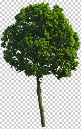 Der fertig freigestellte Baum